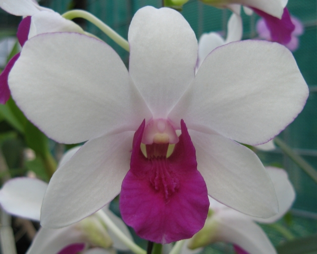 Dendrobium Spellbound x Suksawat